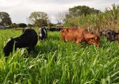 Produtores de leite recebem incentivo  da Secretaria de Agricultura para obter melhoramento da genética e das pastagens