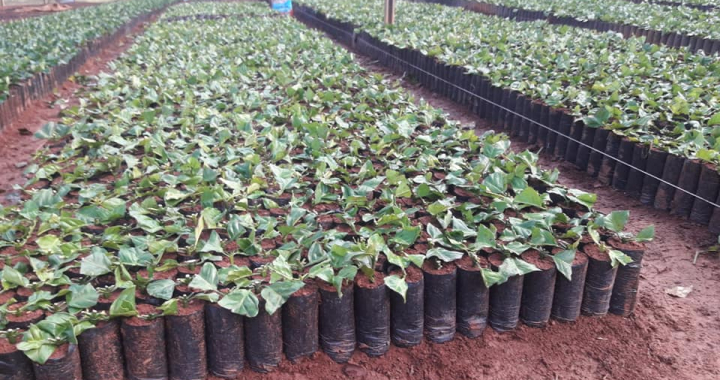 Programa de incentivo à cafeicultura beneficiará produtores de Juína e região com mais de 300 mil mudas em 2018